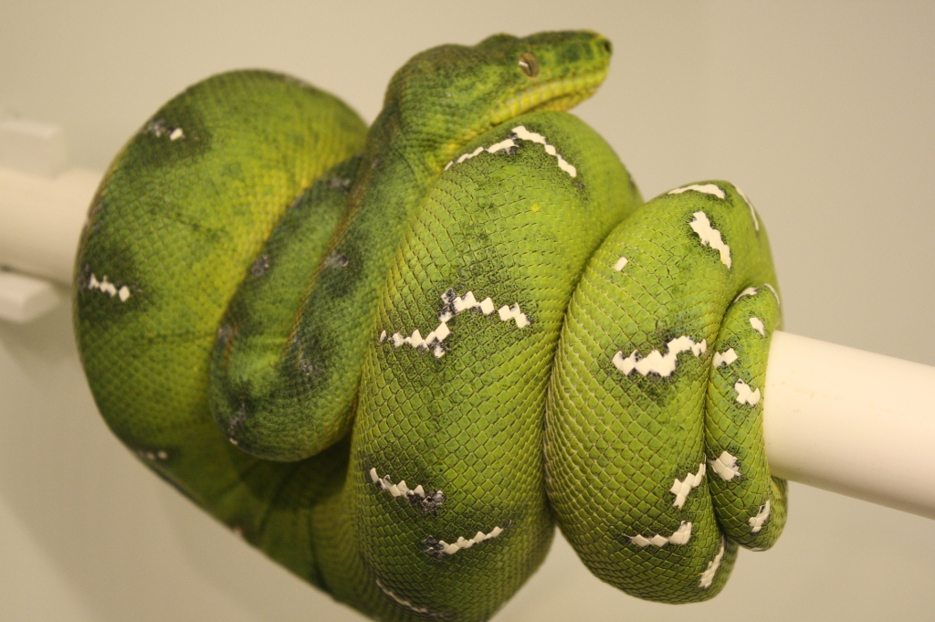 Emerald Tree Boa - Darren Hamill Reptiles-2067