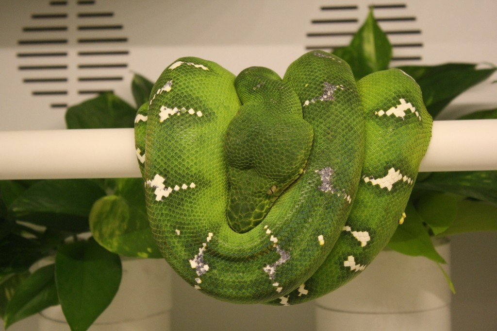 Northern Emerald Tree Boa
