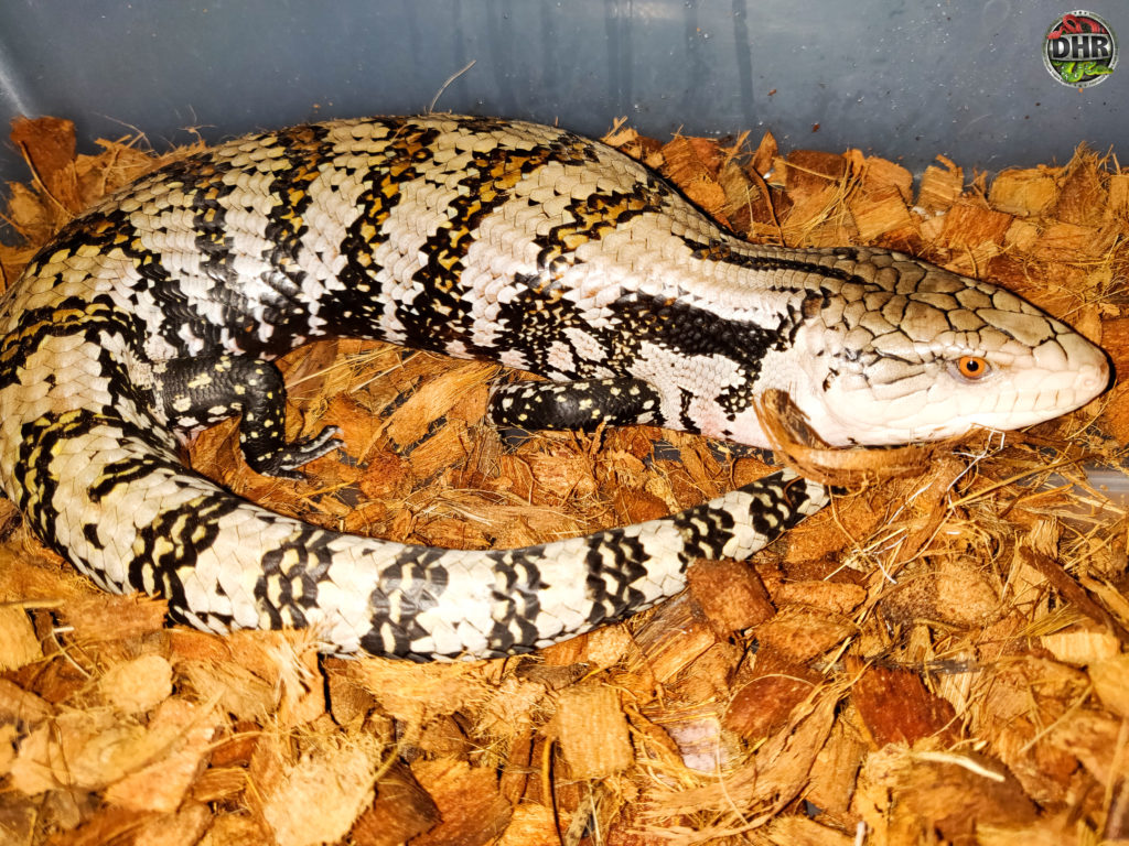 One of our Blue Tongue Skinks