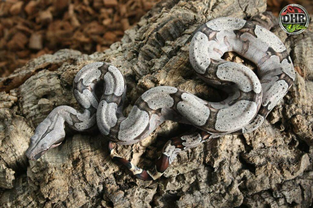 Some pictures of Bolivian Boas (Boa c. amarali)