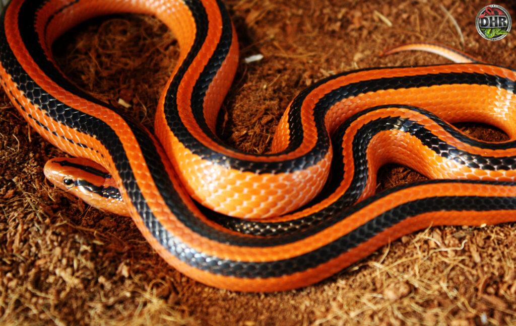 Next winter we should be ready to allow our Thai Red Mountain Rat Snakes (Oreocryptophis porphyraceus coxi) to undergo brumation