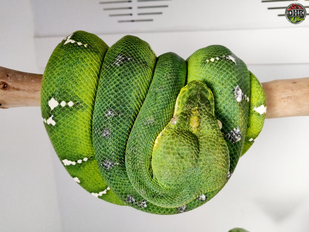 Hey buddy, you look like you're perched upside down! An adult Northern Emerald Tree Boa (Corallus caninus)