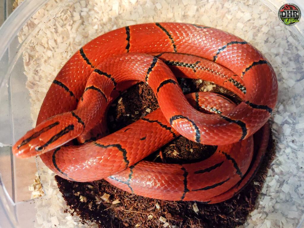Small Asian Rat Snake named Broad Banded Mountain Rat snake (Oreocryptophis porphyraceus laticinctus).