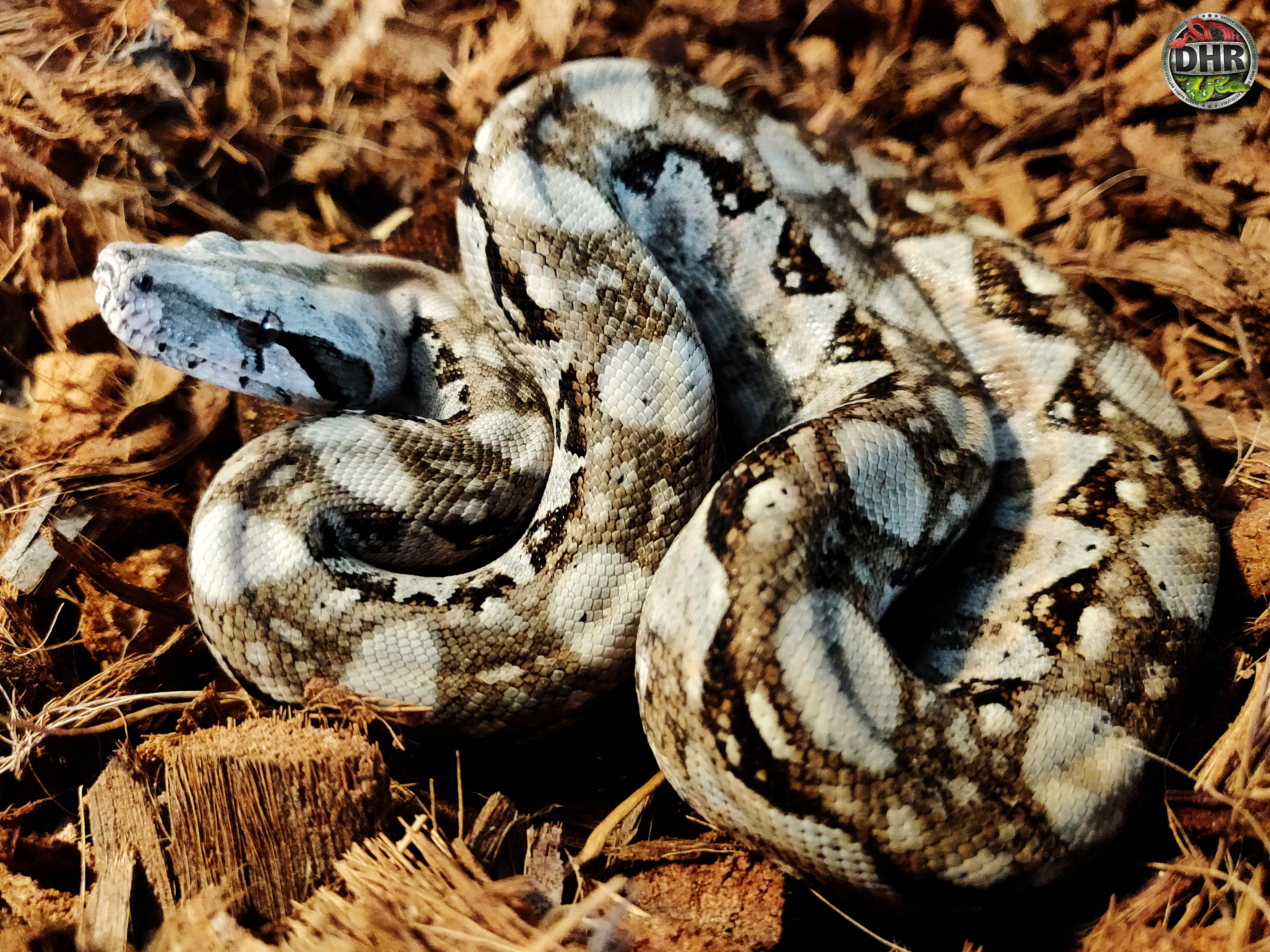Happy Tuesday everyone. Here's a little Nicaraguan Boa (Boa constrictor imperator)