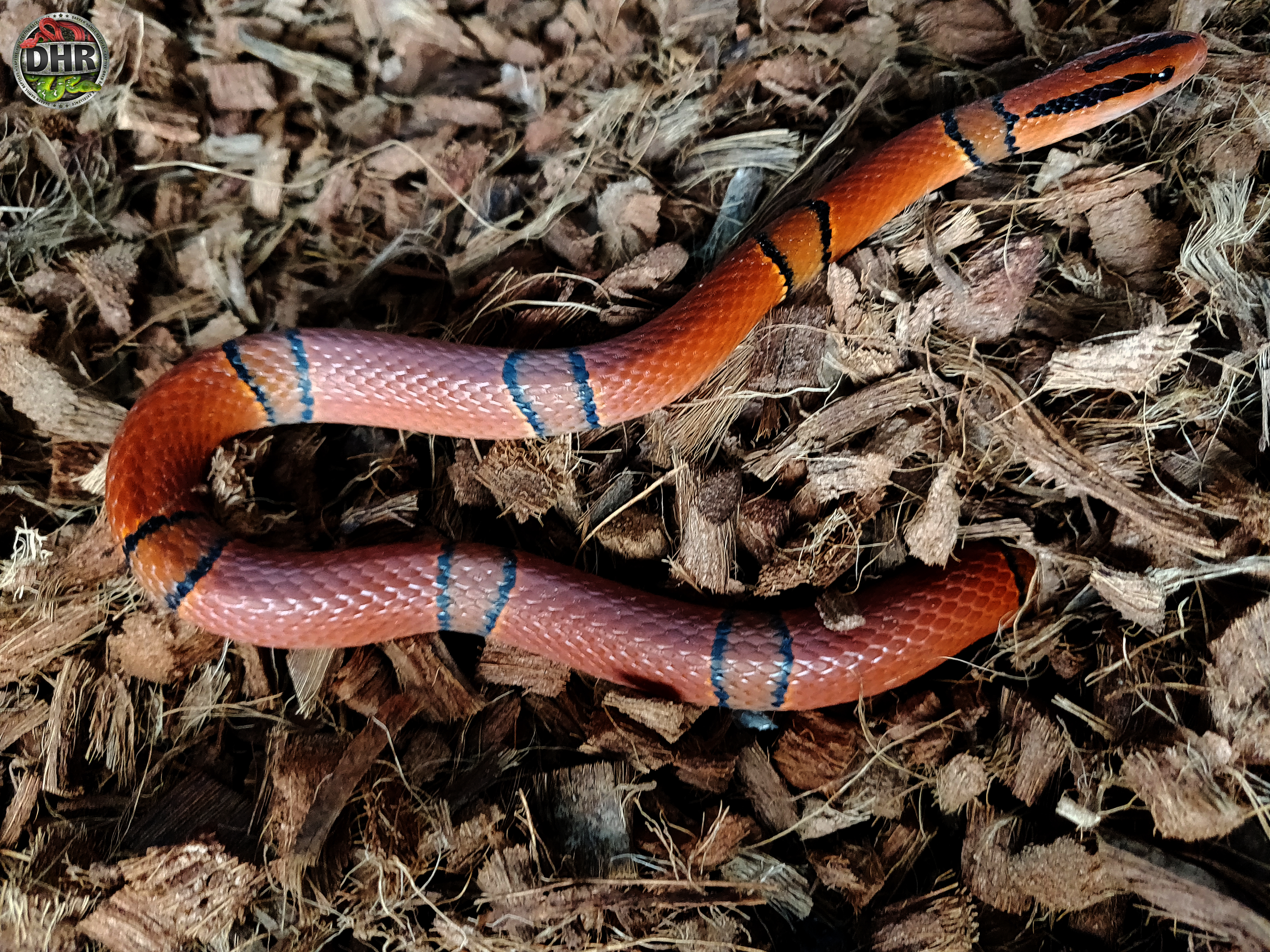Yunnan Mountain Rat Snake Pics