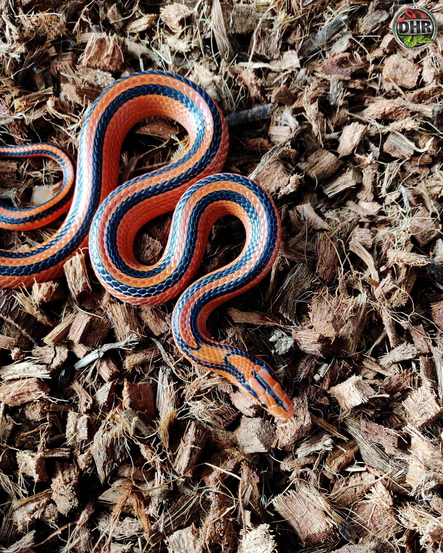 One of our Thai Red Mountain Rat Snakes (Oreocryptophis porphyraceus coxi)