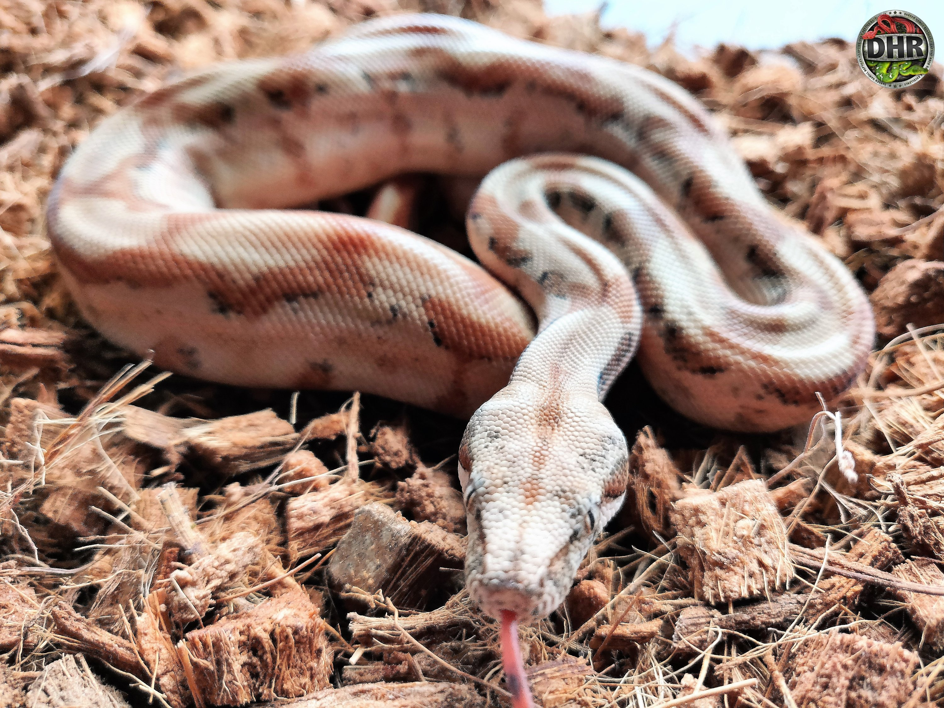 Today's picture is a Super Hypo Nicaraguan Boa (Boa constrictor imperator)