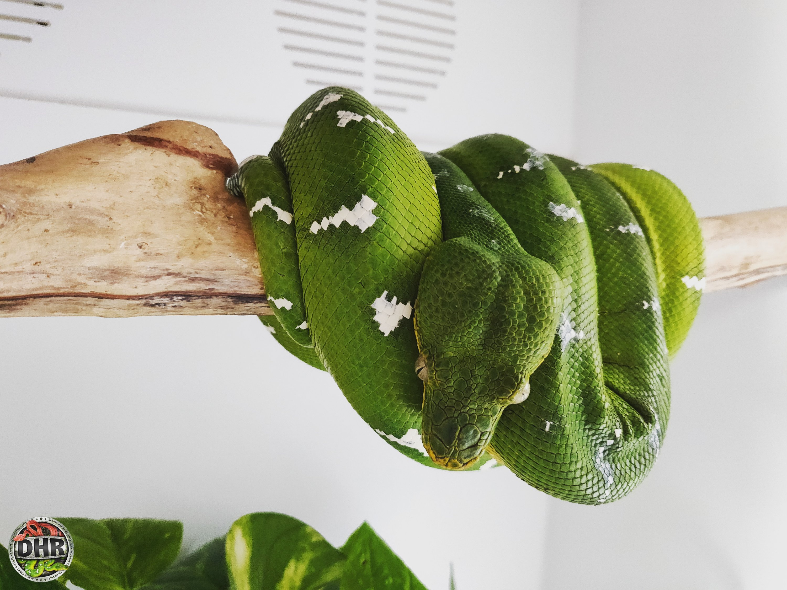 An adult male Northern Emerald Tree Boa (Corallus caninus) chilling on his perch.