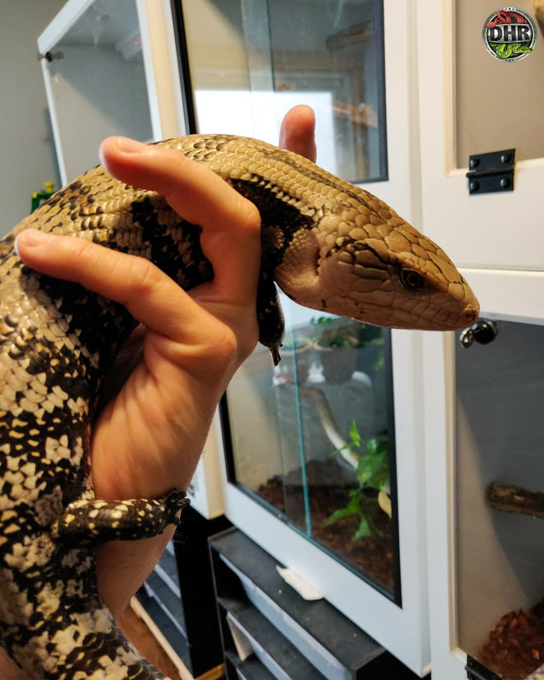 Snapped a couple of pictures of this adult female Merauke Blue-tongue Skink (Tiliqua gigas evanescens)