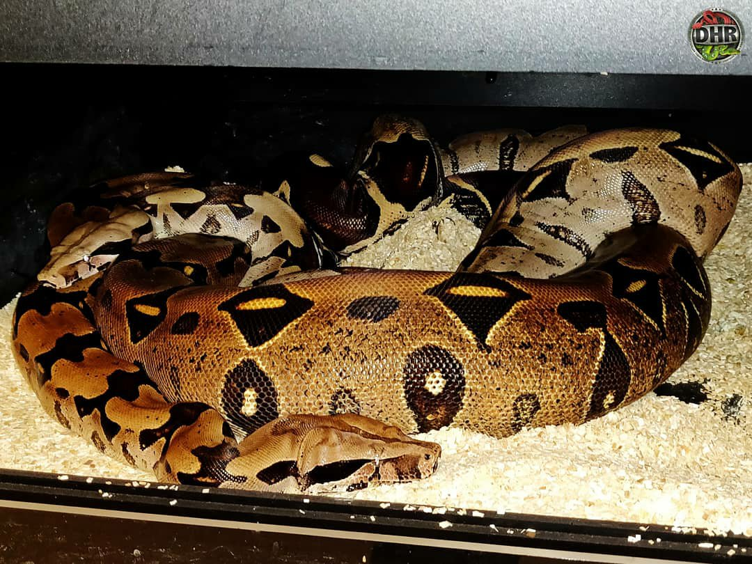 With a little luck we hope to produce another litter of Suriname Boas this year.