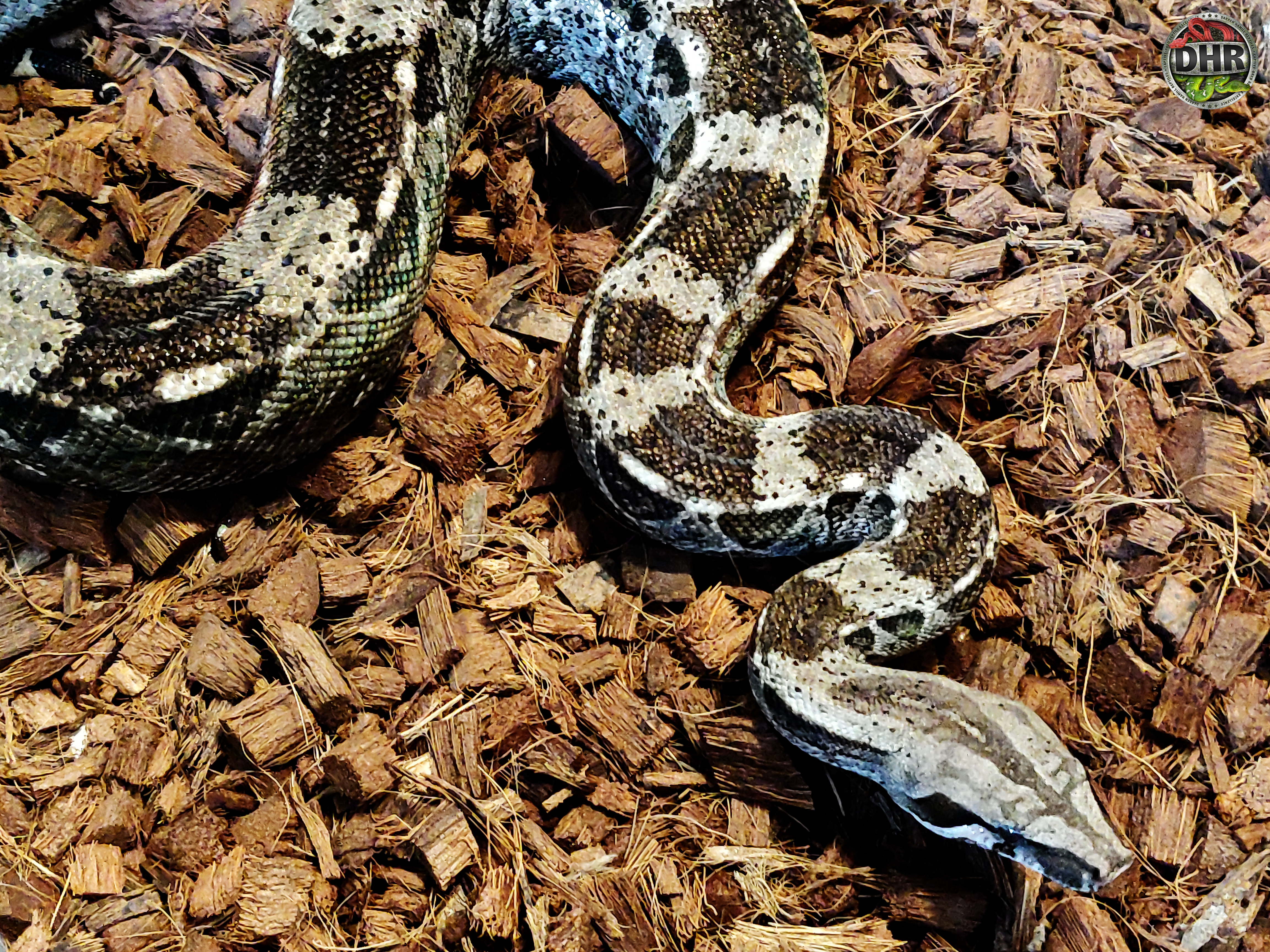 Heading into the weekend we thought we would share a picture of a Caulker Cay Boa