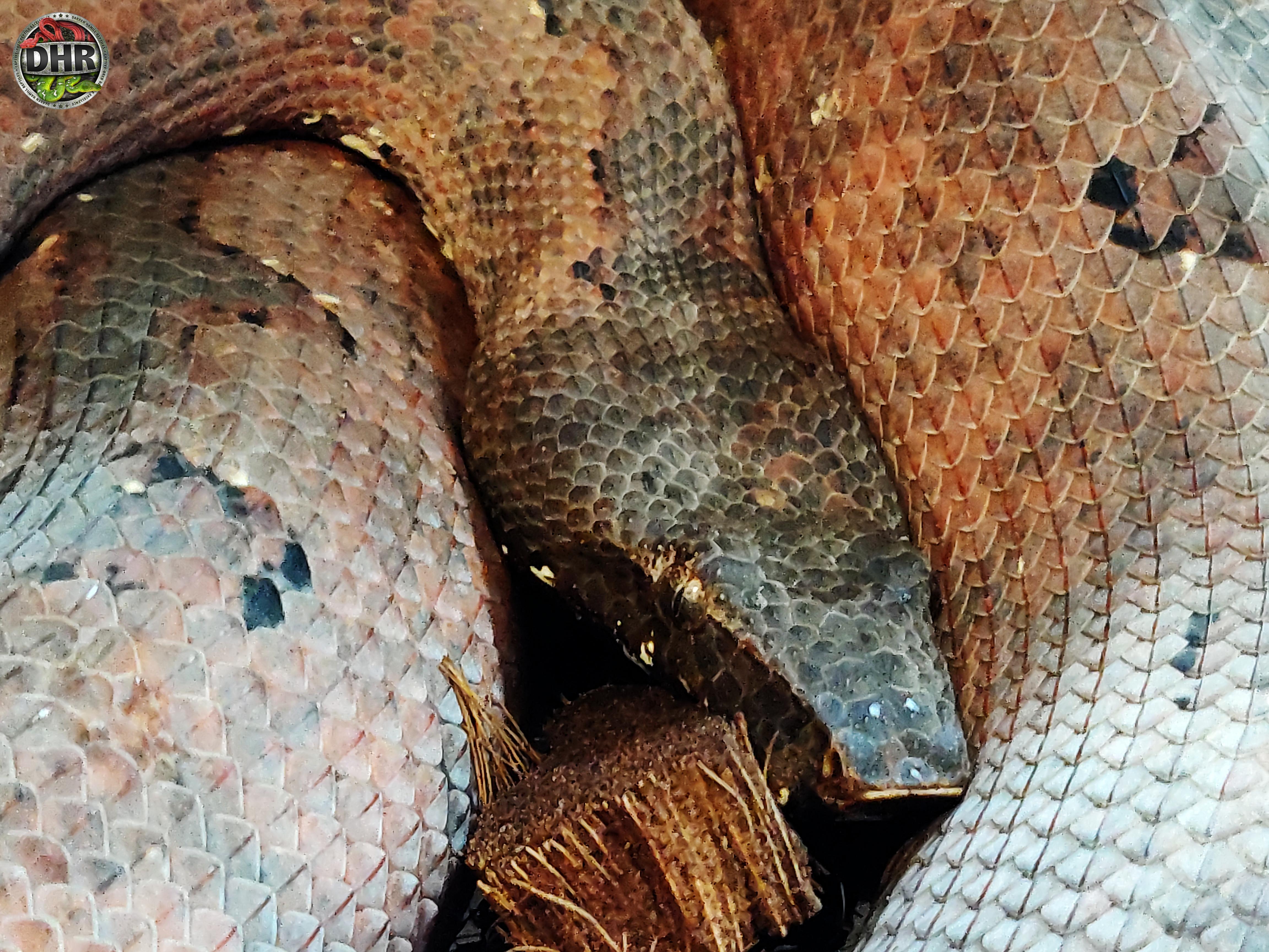 An adult female Solomon Isle Ground Boa