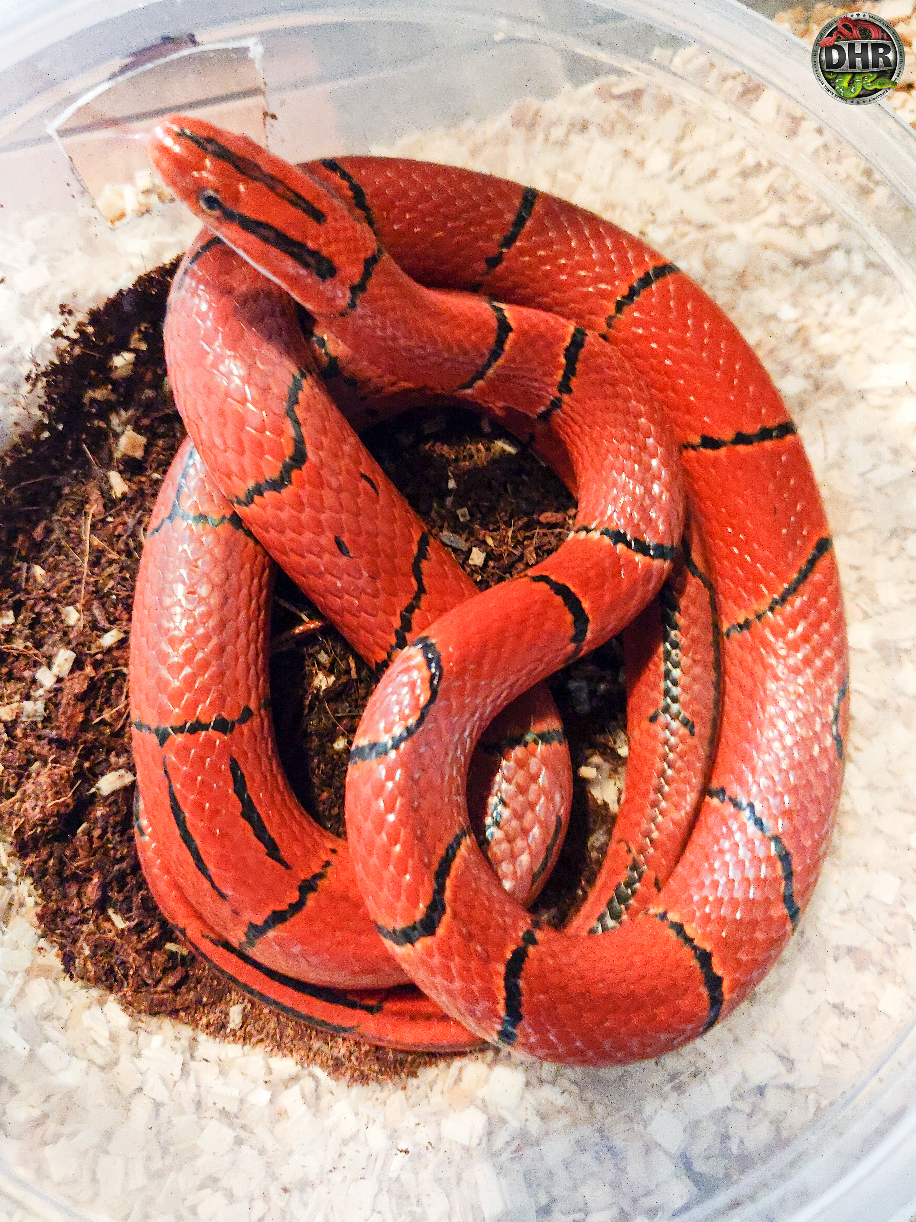 A Broad Banded Mountain Rat snake