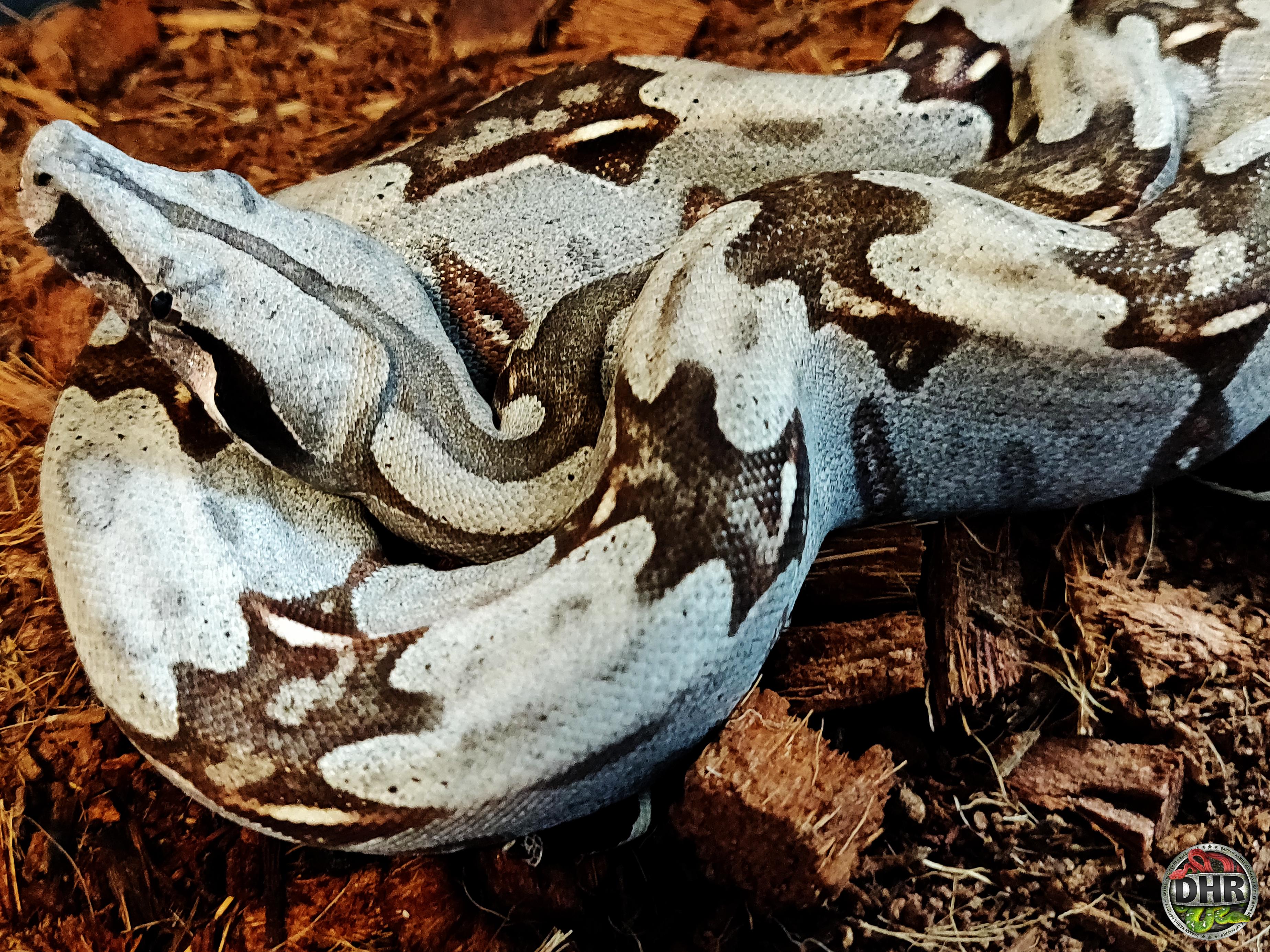 Suriname Boas (Boa constrictor constrictor)