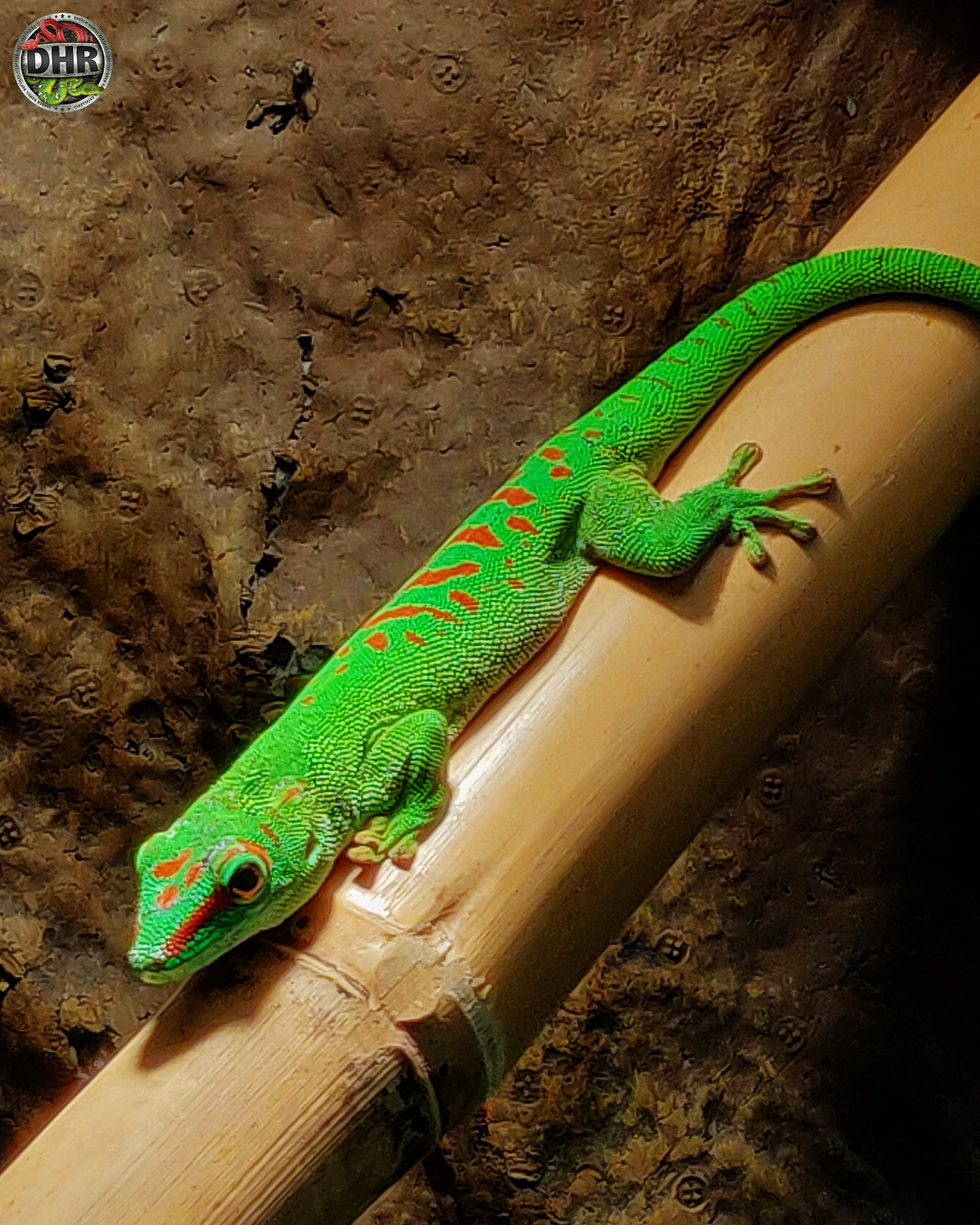 One of our beautiful adult male Giant Day Geckos