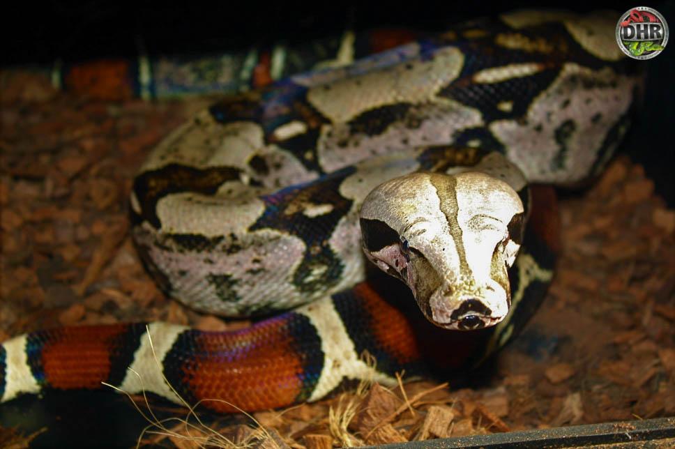 Suriname Boa (Boa constrictor constrictor)