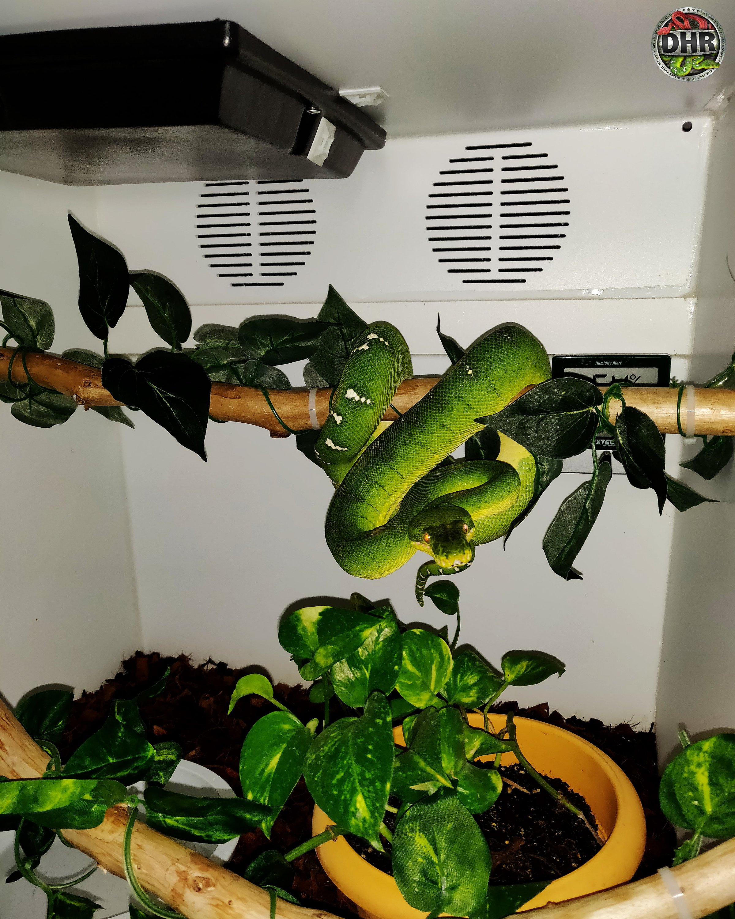A night photo of one of our Emerald Tree Boa