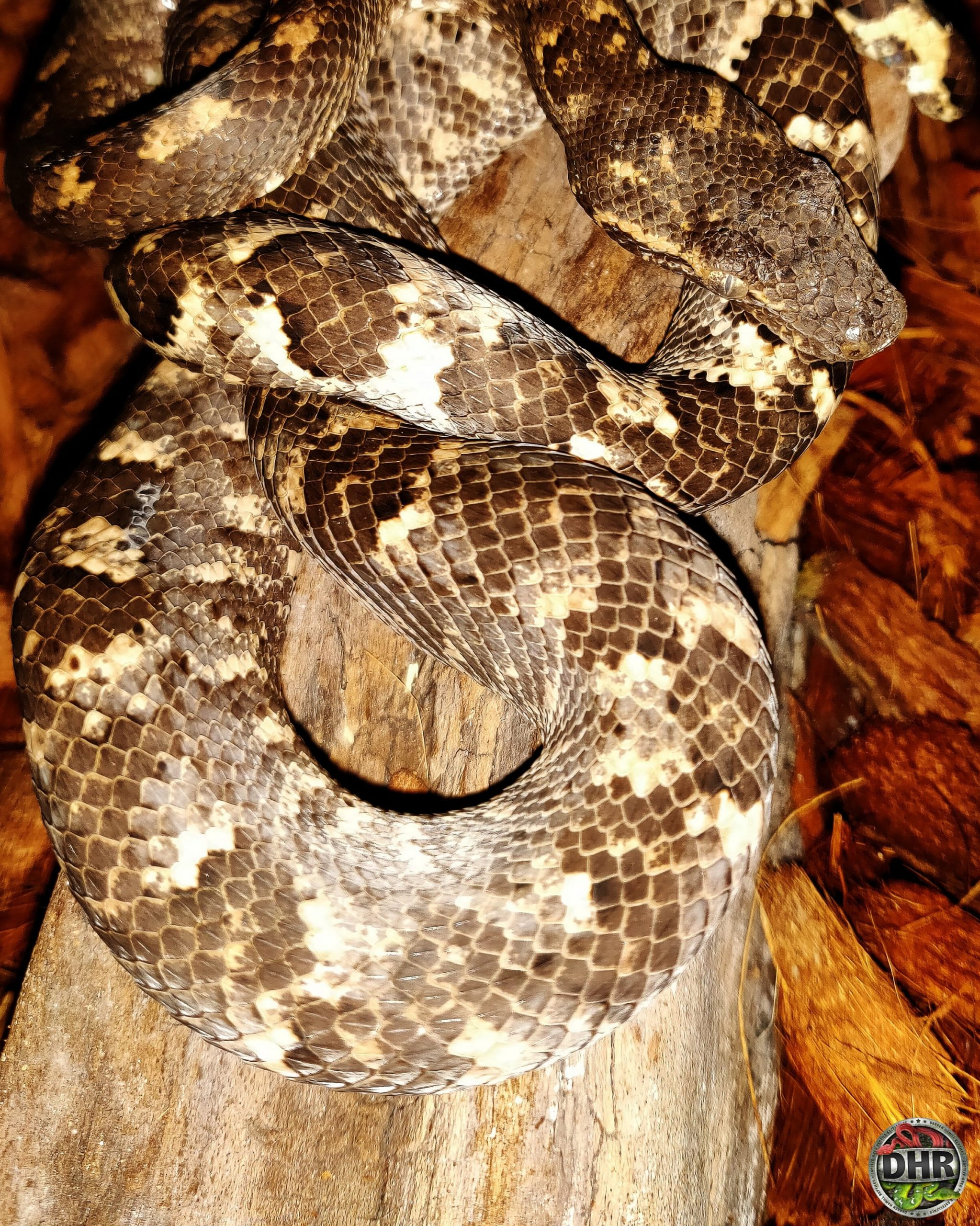The variation in colour of these Solomon Island Tree Boas