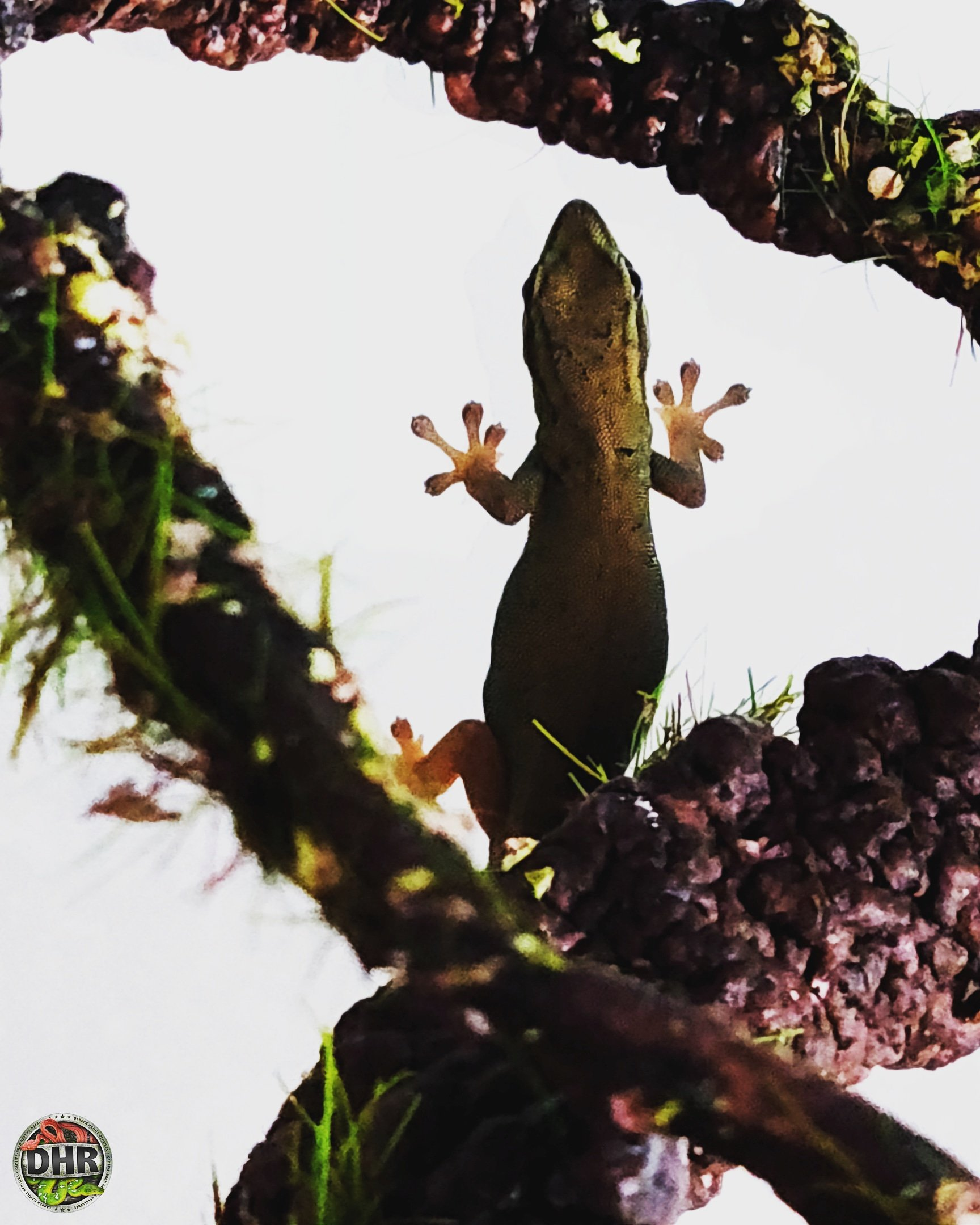 A young female Electric Blue Gecko (Lygodactyluswilliamsi)