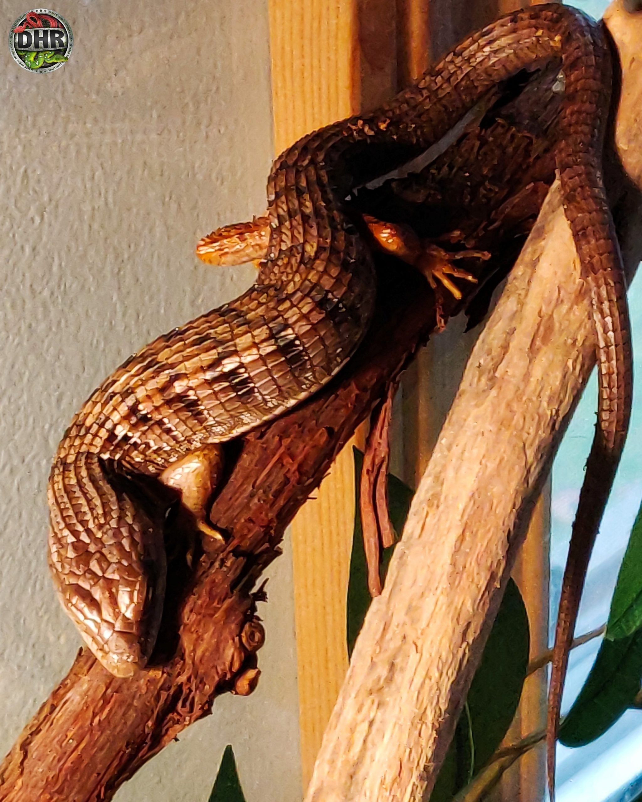 These Southern Alligator Lizards