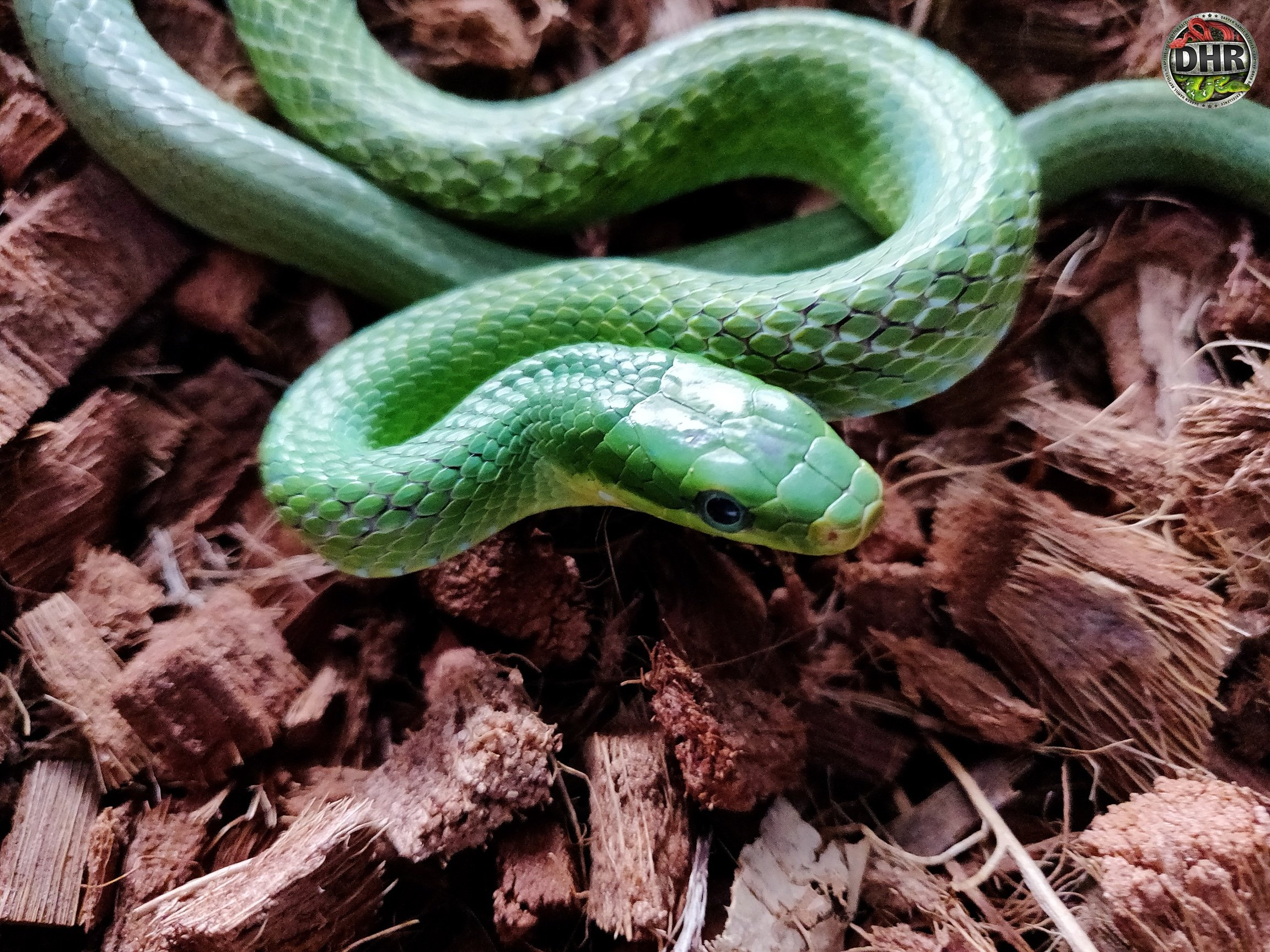 For our Friday post we thought we would share a picture of a Green Bush Rat Snake