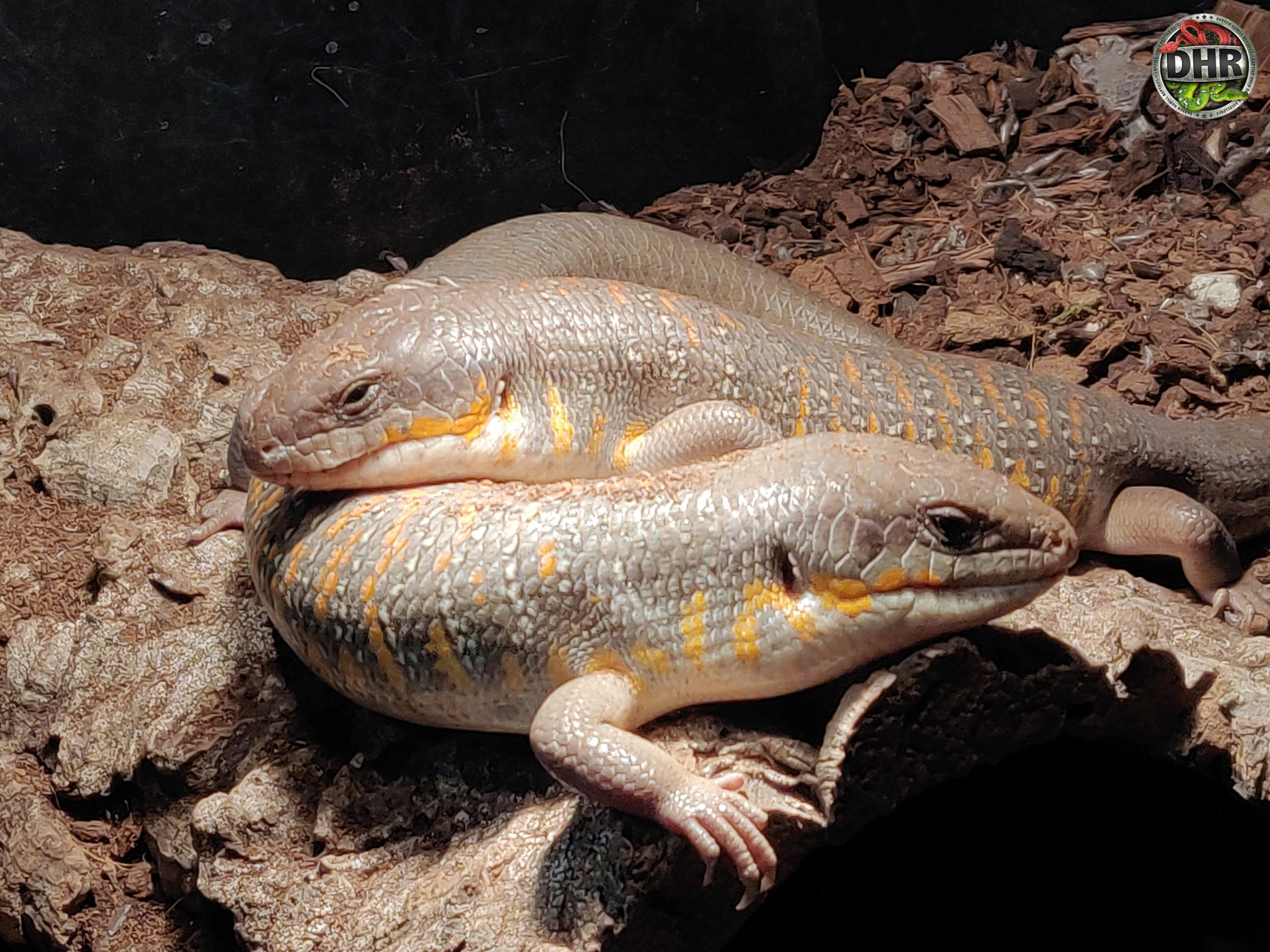 We rarely take pictures of these special skinks, True Berber Skinks (Eumeces algeriensis)