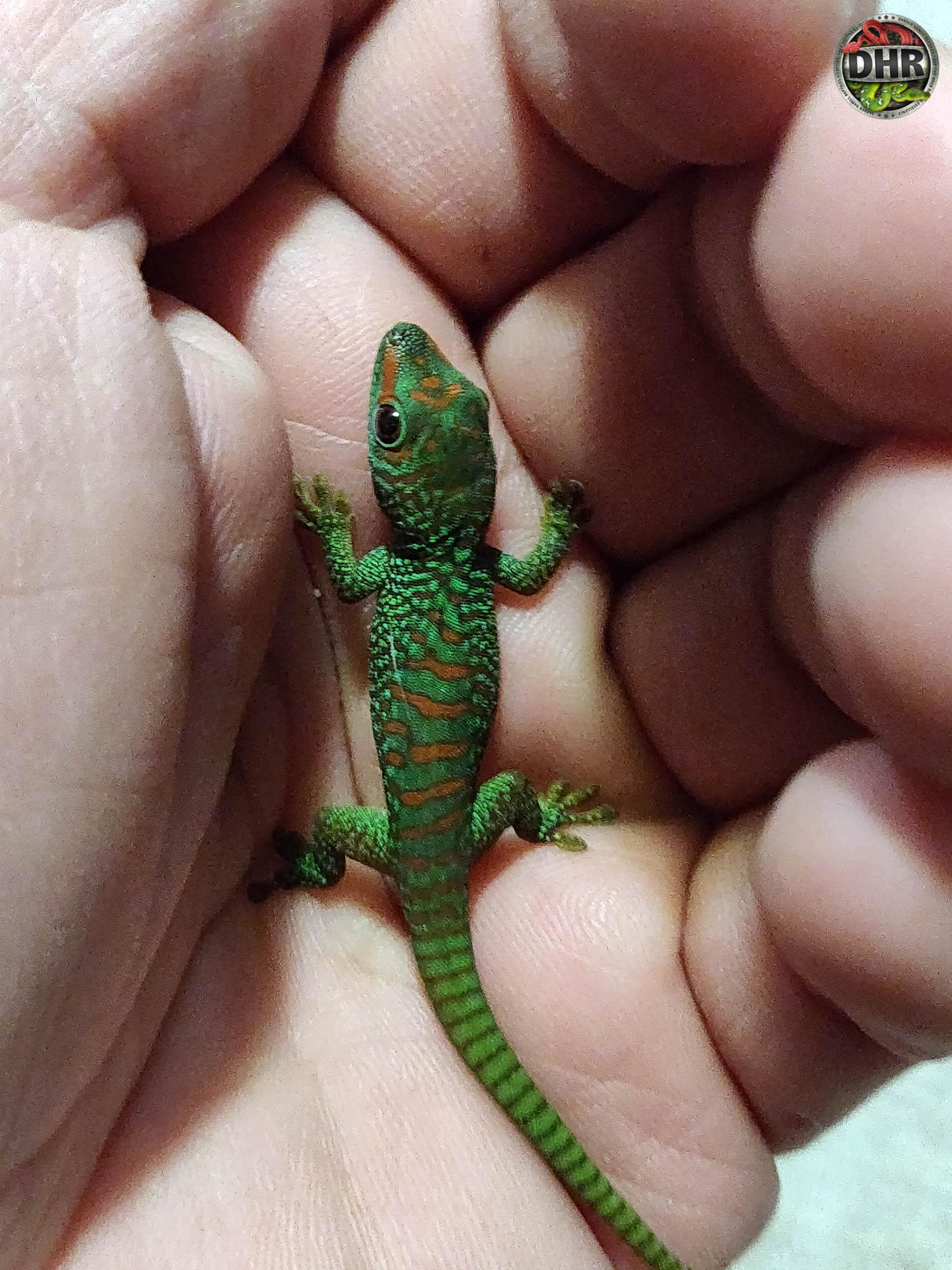 Madagascan Giant Day Gecko (Phelsuma grandis)