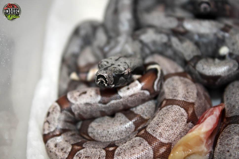 Bolivian Boa (Boa constrictor amarali)