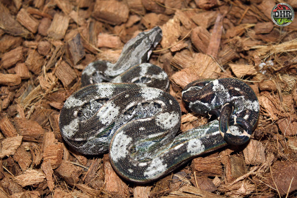 Juvenile Caulker Cay Boa