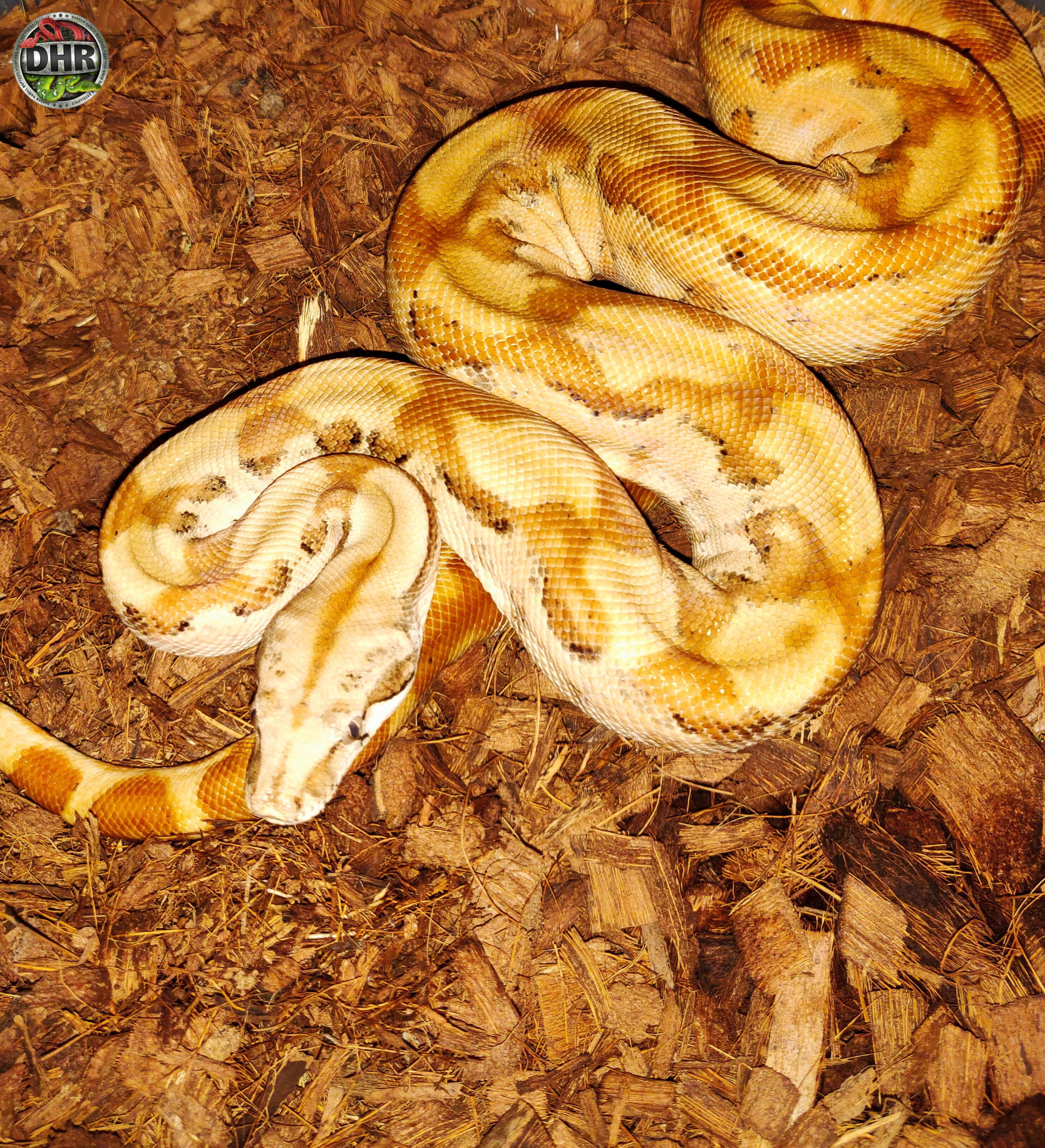 Happy Tuesday! Here's a Super Hypo Nicaraguan Boa for you.