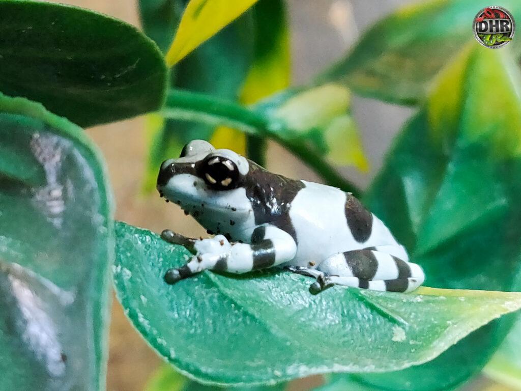 Amazon Milk Frog (Trachycephalus resinifictrix)