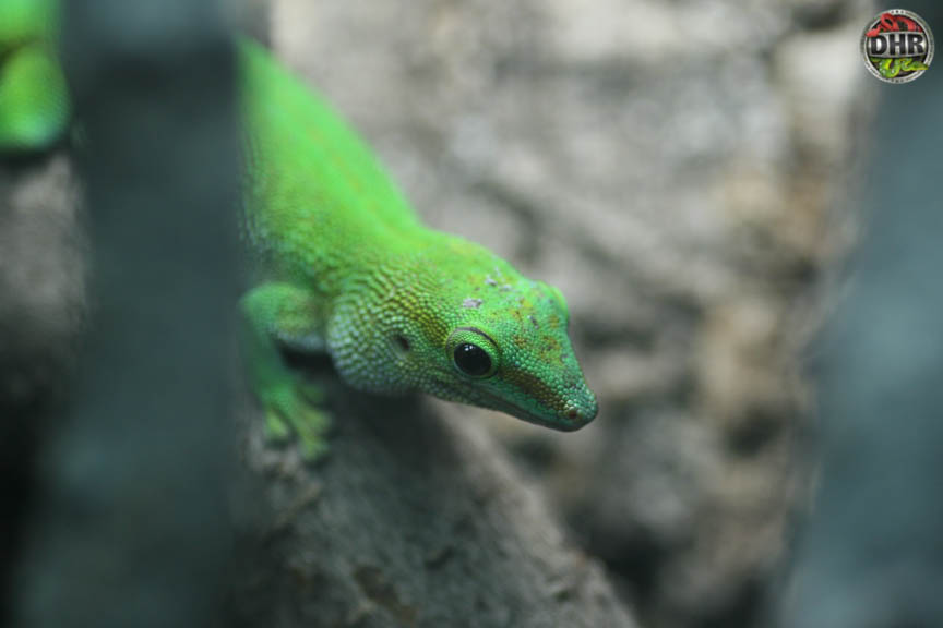 Boehme's Day Gecko close-up