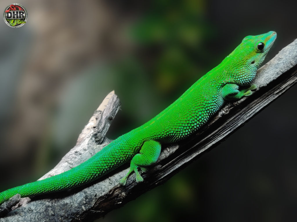 Quick pic: Boehme's Day Gecko
