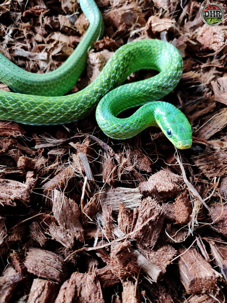 Beautiful emerald green Rat Snake
