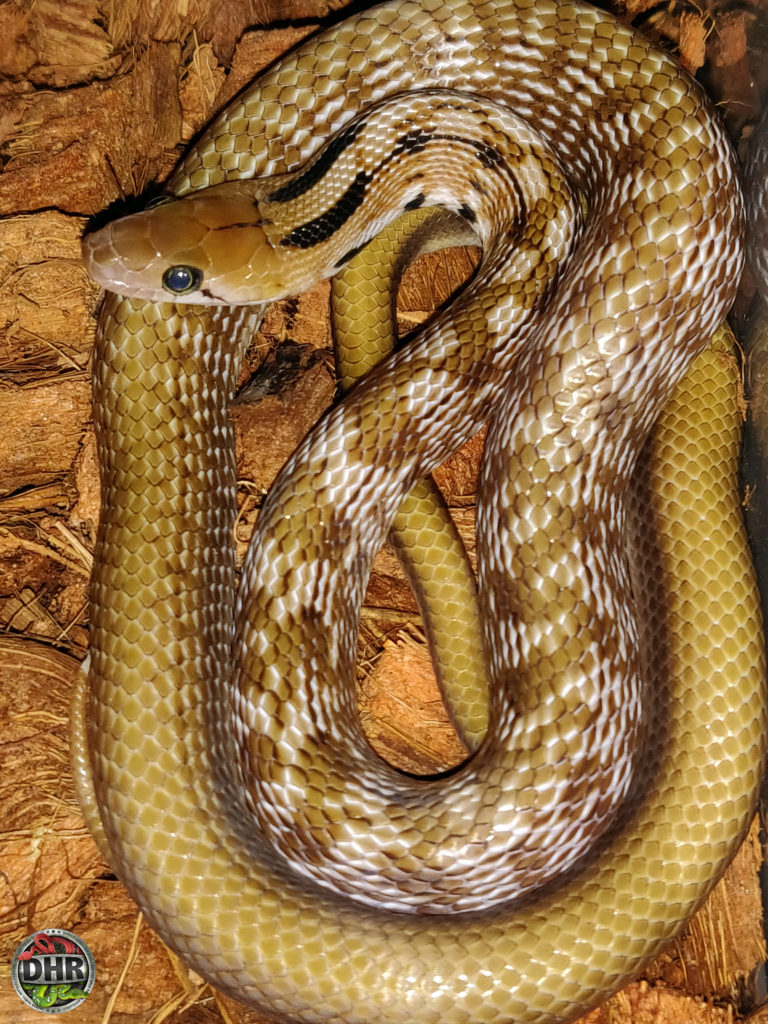 Next year our Trinket Rat Snakes (Coelognathus helena) will be old enough to pair for the first time.