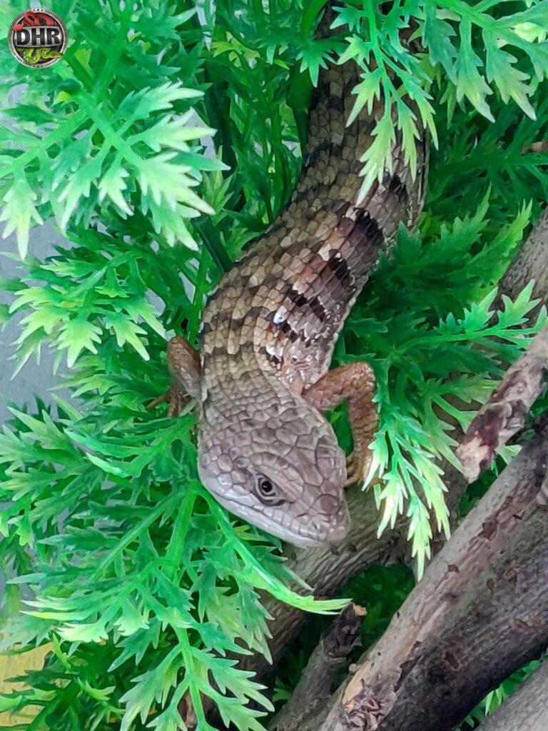 Our Rarely seen Southern Alligator Lizard (Elgaria multicarinata)