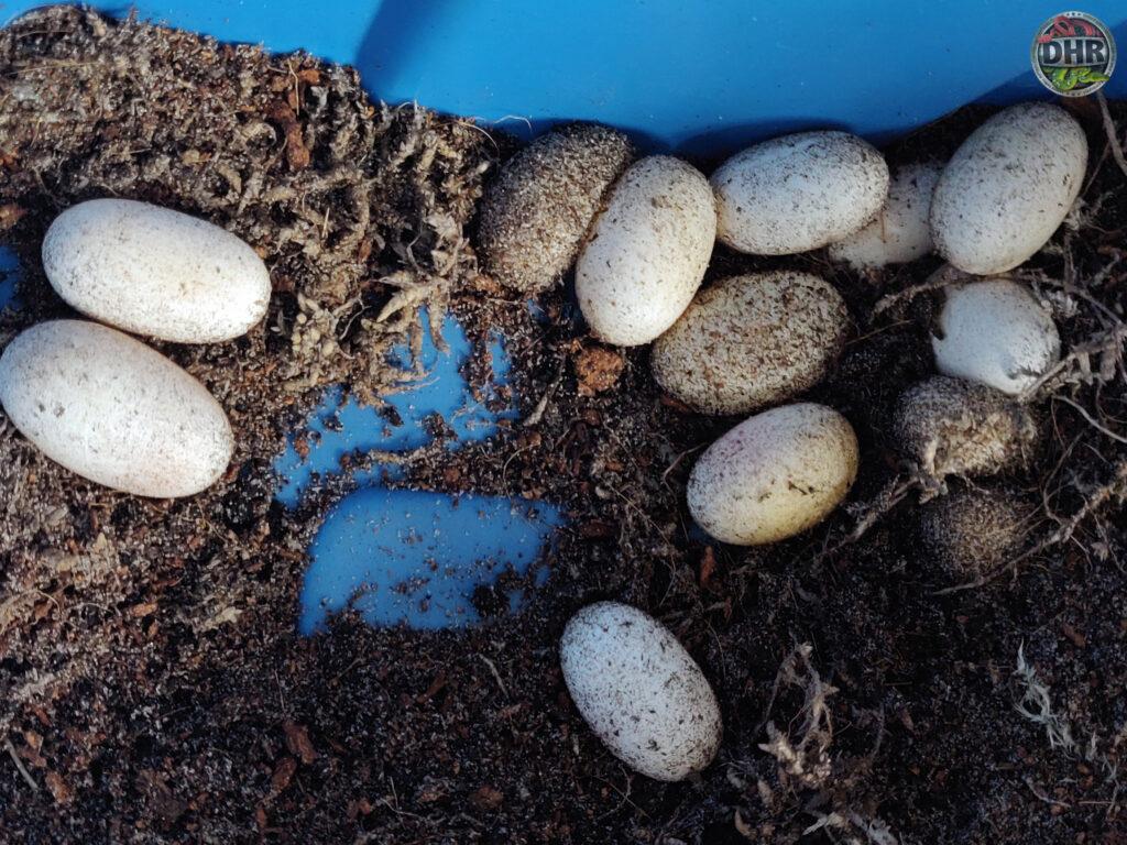 clutch of Niger Uromastyx eggs